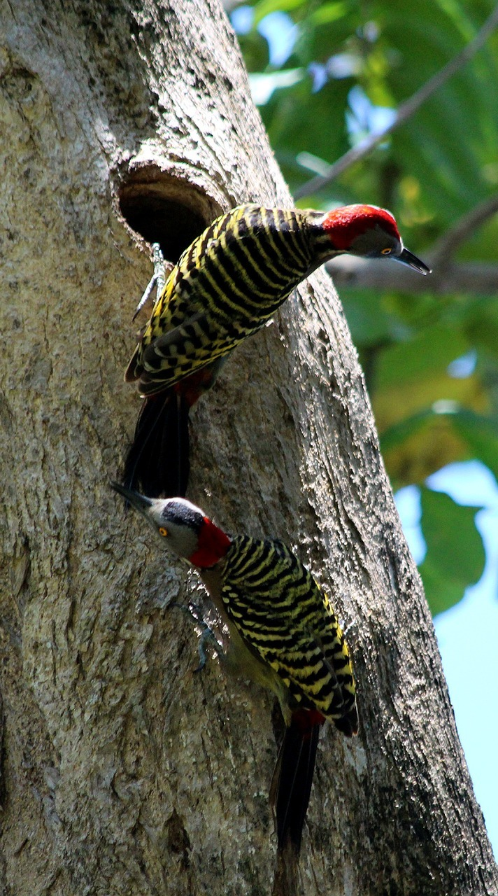 Picture of two woodpeckers.