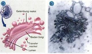 Pengertian Badan Golgi dan Fungsinya