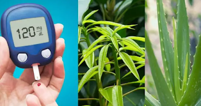 Diabetic plants