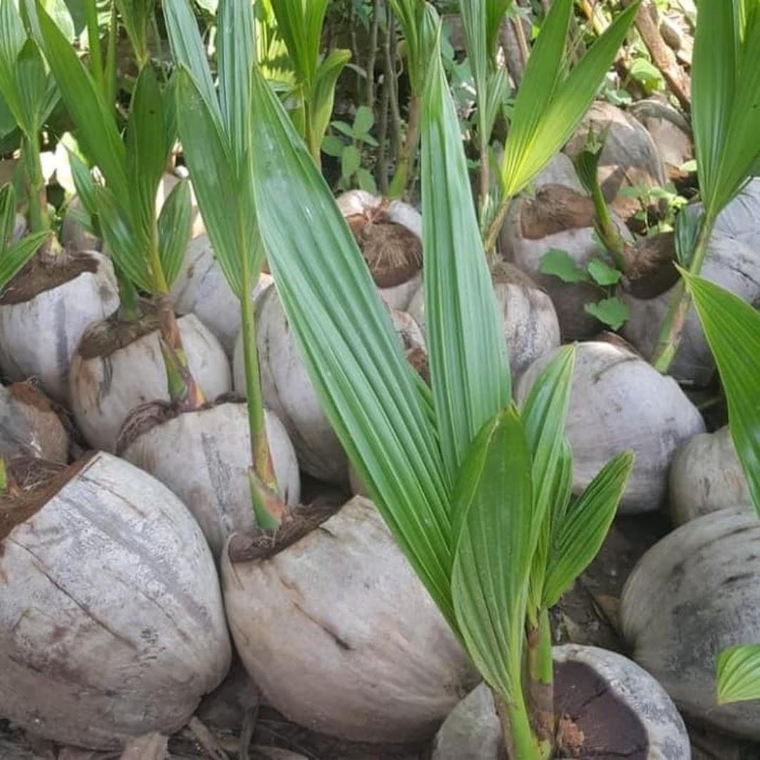 Bibit kelapa genjah entok unggul berkualitas dijamin berbuah 2 3thn Makassar
