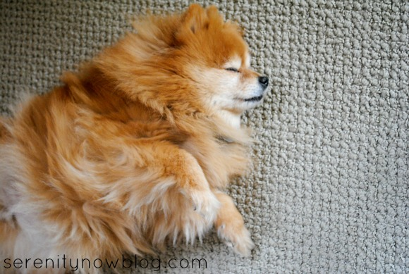 Pomeranian Sleeping, Serenity Now blog