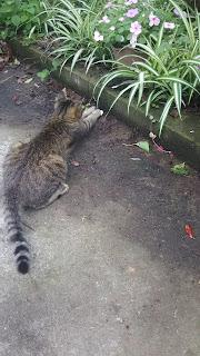 両手で獲物を押さえつけるキジトラ猫