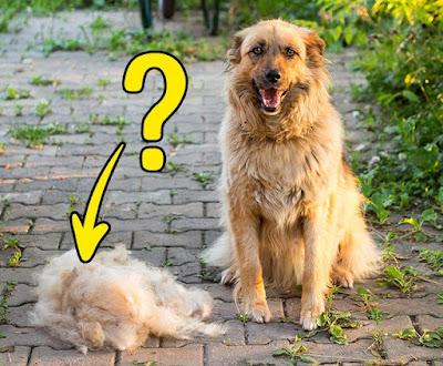 Chứng rụng lông trên chó