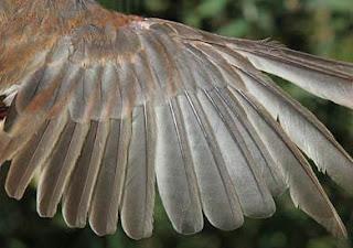 Tips agar bulu burung kenari mengkilap / tidak kusam