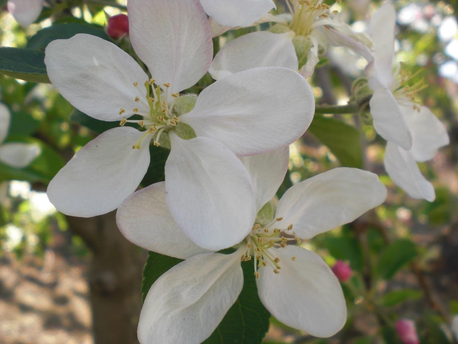 Resultado de imagen para flores del libano