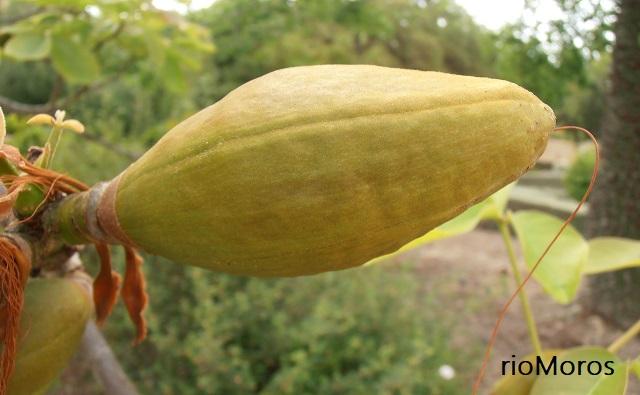 Fruto en cápsula de Coquito Pseudobombax ellipticum