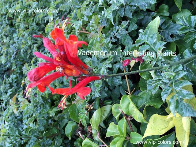 Tecoma capensis, Tekoma przylądkowa, Kaapse trompet, rośliny wspinaczkowe, krzew liściasty, rośliny doniczkowe, rośliny zimozielone, Tekoma przylądkowa zdjęcia, Tekoma przylądkowa uprawa, kwiaty trąbkowate, czerwone kwiaty trąbkowate, czerwone kwiaty, rośliny egzotyczne, Cape honeysuckle, Cape honeysuckle care,