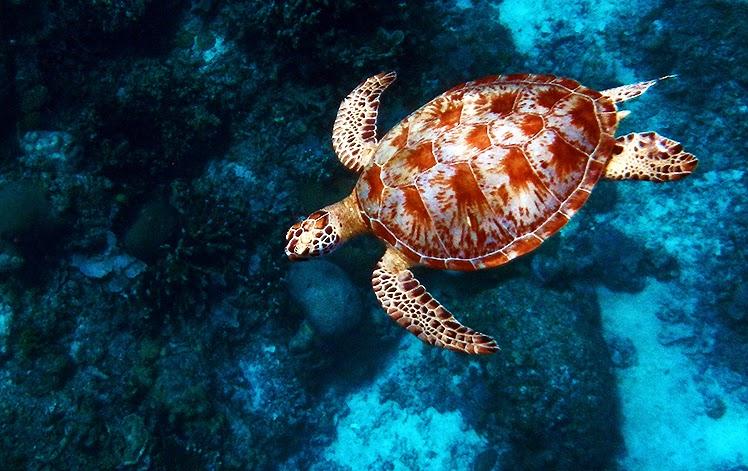 Penyu hijau melewati perairan dangkal Turtle Traffic