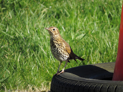 Song Thrush, Grimsbury Reservoir