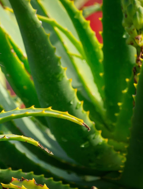 Homemade aloe vera tips for hair growth faster