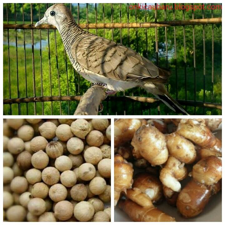 Manfaat Kunyit Untuk Burung Perkutut Terbukti Menyehatkan Dan Gacor Manggung Liputan Indonesia