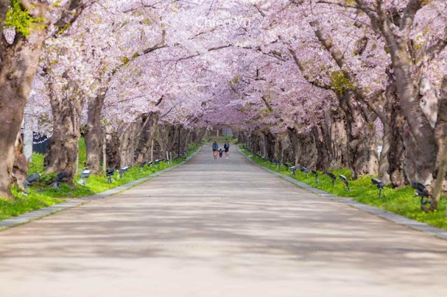 Chiêm ngưỡng mùa hoa Anh Đào ở Hàn Quốc 2020 tuyệt đẹp