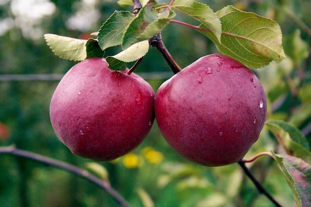 jablana-redlove-circe-z-jabolki