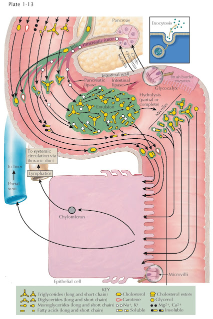DIGESTION OF FAT