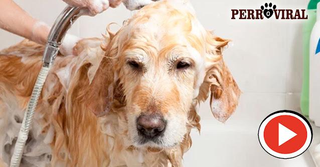 Cómo debe ser bañado nuestro perro para que no tenga malos olores