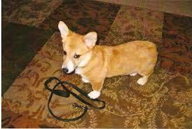 dorgi- corgi com dachshunds