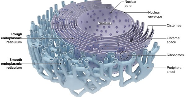Plant Life: Endoplasmic Reticulum What Is Endoplasmic Reticulum