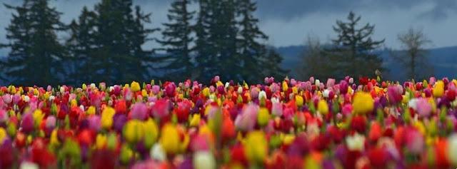 tulipani, fiori, colori,