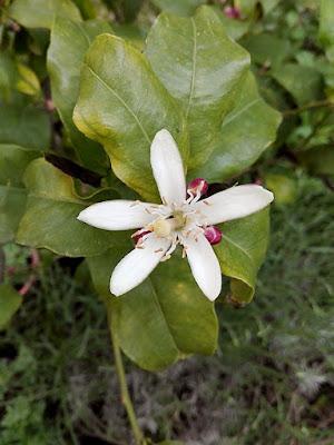 Maggio nell'orto biologico: limone fiorito