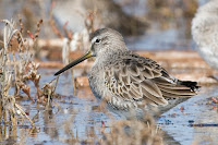 Short-billed Dowitcher – Oct. 2007 – photo by 'Mike' Michael L Baird