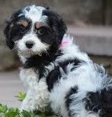 F1b Springerdoodle Temperament, Size, Lifespan, Adoption