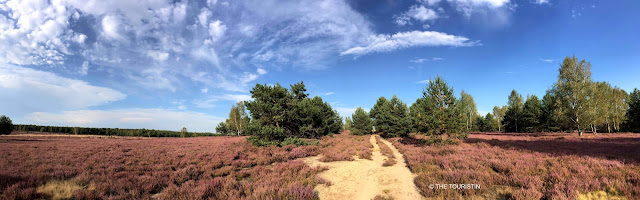 A sandy path through the carpet of a purple heath landscape under a blue sky with fluffy clouds.