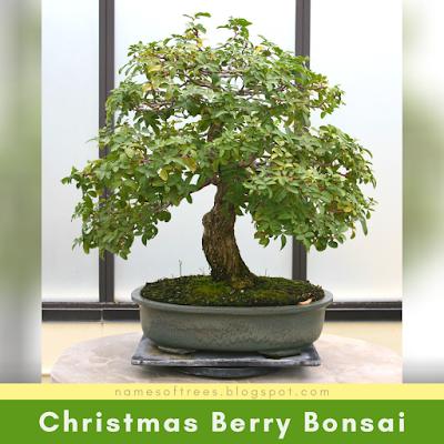 Christmas Berry Bonsai