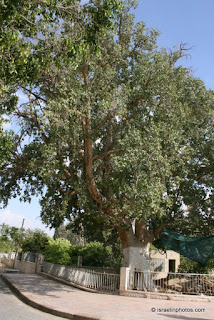 Zacchaeus' sycamore fig in Jericho