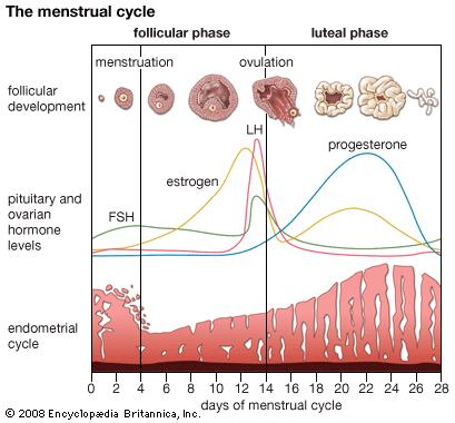 4 Tahapan Siklus Menstruasi Pada Wanita