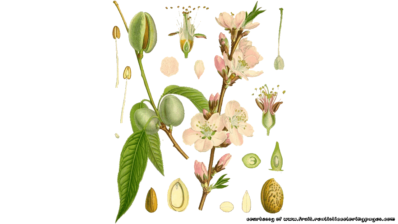 8 almond clipart free to download fruit names az with