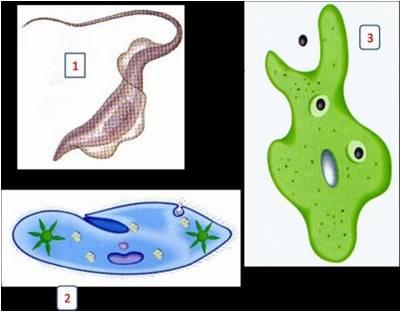 Protozoos Y Poriferos Protozoarios