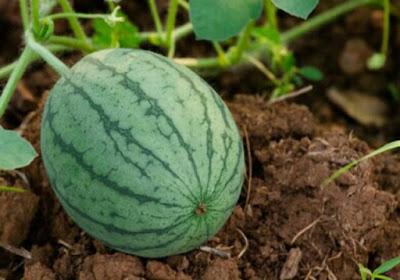 Cara menanam semangka,perawatan,pemanenan