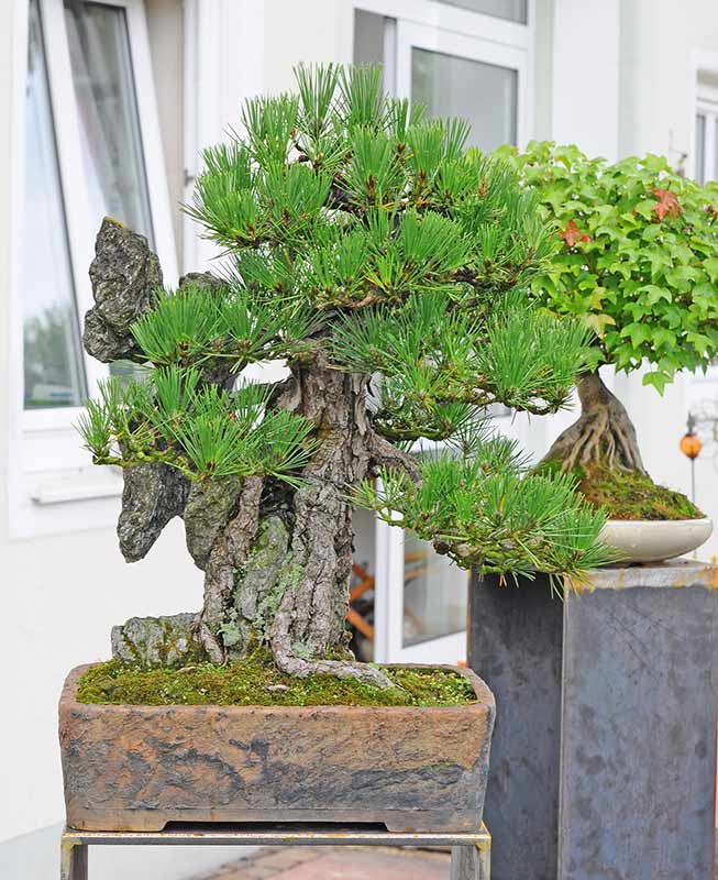 Walter Pall Bonsai Adventures: Repotting of a Japanese ...