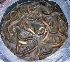 ibarat budidaya ikan lainnya ibarat budidaya ikan lele atau budidaya ikan gurami Kabar Terbaru- HAMA DAN PENYAKIT PADA BELUT