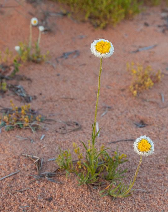 Desert ephemerals