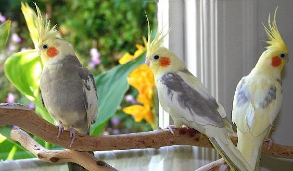 Harga Burung Falk
