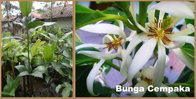 bibit-bibit bunga unggul | bibit cempaka unggul | bibit kantil unggul | tanaman cempaka | tanaman kantil | budidaya bunga cempaka | jual bibit bunga kantil