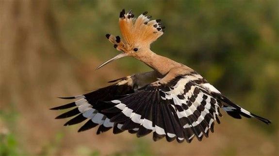 Hüthüt kuşu - H Hayvan İsimleri