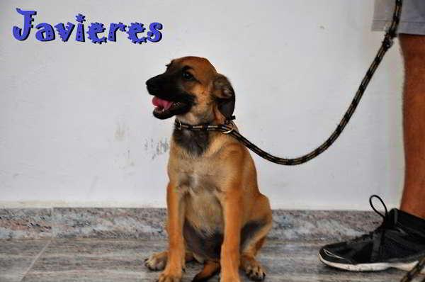 cachorros cruce pastor alemán 3