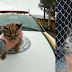 Filhote de felino silvestre é resgatado de cativeiro pela BM em Vacaria