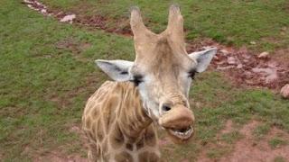 La eutanasia practicada a una jirafa en 2015 dejó patente que la manada de esos animales sufría una severa desnutrición.
