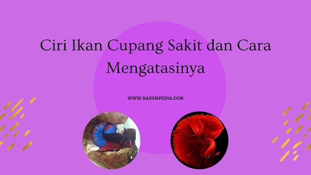 Ciri Ikan Cupang Sakit dan Cara Mengatasinya - www.radenpedia.com