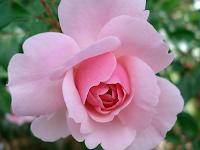 Manfaat Bunga Mawar Bagi Kesehatan, Ternyata Banyak Sekali!