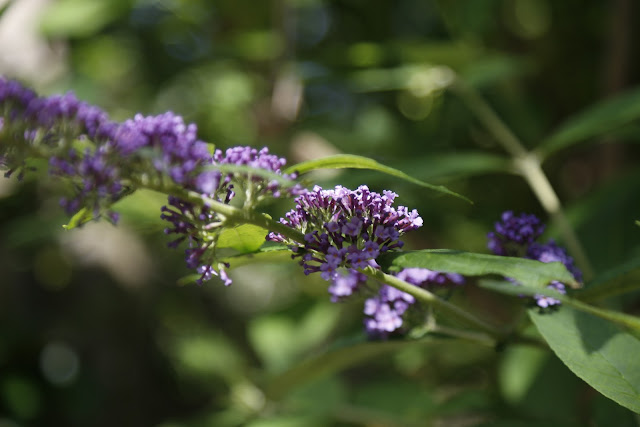 Lilac Budleija Flowers Blossoming