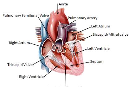 Sistem Peredaran Darah Manusia Yang Luar Biasa