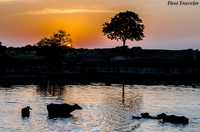 water buffaloes in pond in Rajasthan