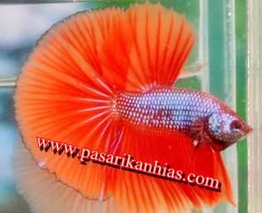 Harga Terbaru Ikan Cupan Hias 2016