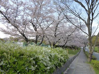 寝屋川公園 テニスコート周辺の桜 ユキヤナギ
