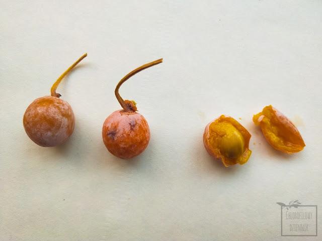 Miłorząb dwuklapowy, japoński (Ginkgo biloba) - owoce, owocowanie, jadalne owoce i nasiona, ciekawostki botaniczne i dendrologiczne. Jak jeść orzeszki miłorzębu, jak przygotować orzeszki miłorzębu. Żeński osobnik miłorzębu japońskiego - owocowanie i zbiory w Chinach, medycyna chińska, TCM - Traditional Chinese Medicine. Smak, przygotowanie, zbiór.