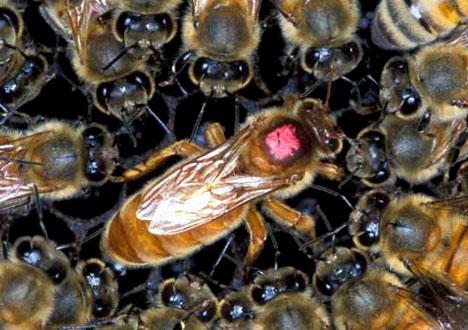 queen bee - photo #30